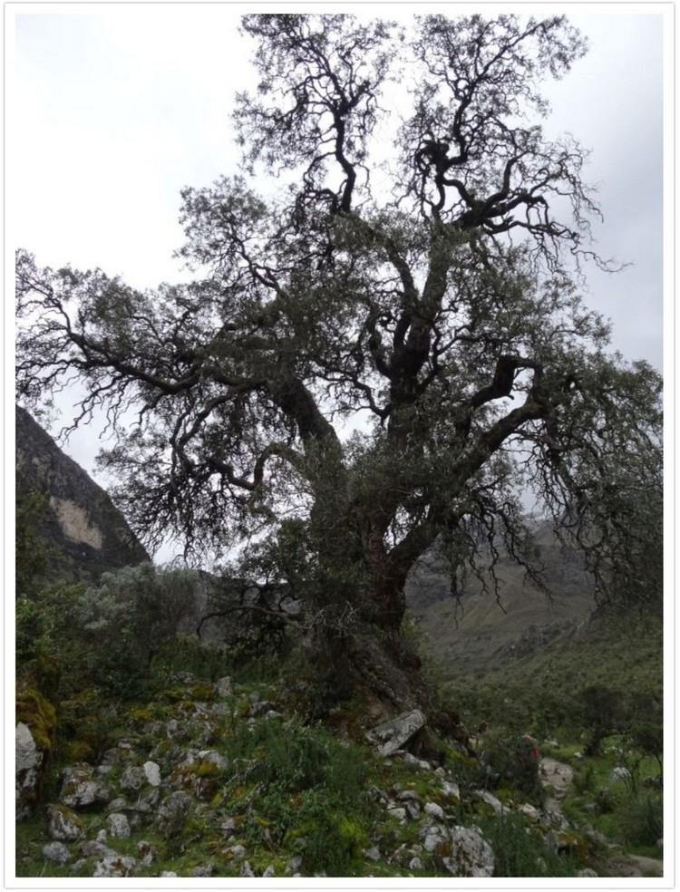 Magnifique arbre dans le fond de la vallée du Rio Ranrahirca