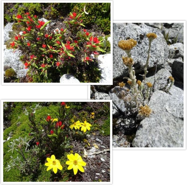 D'autres fleurs autour de 4600m d'altitude