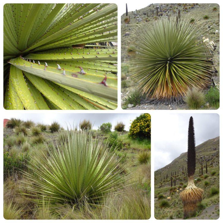 Jeunes plantes d'une vingtaine et d'une trentaine d'année. Et plante en train de mourir après sa floraison