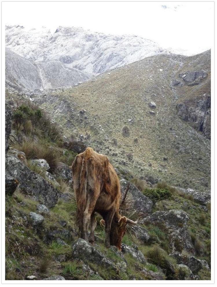 Une vache devant la montagne
