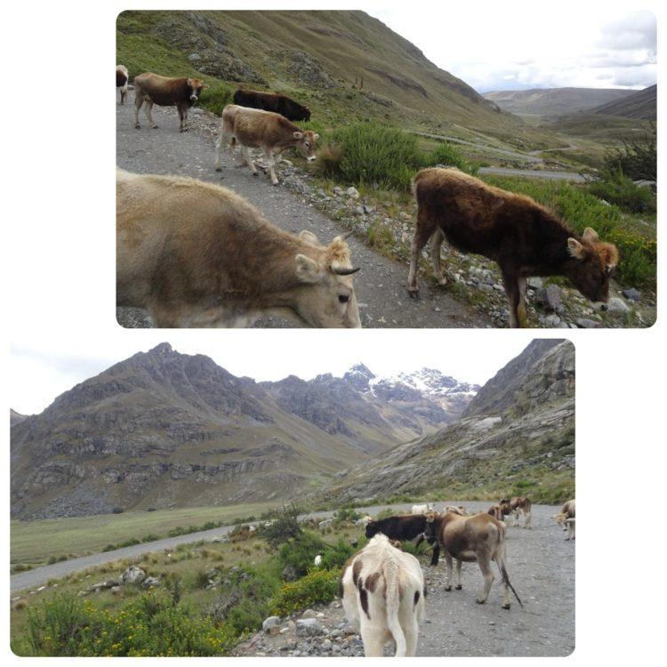 Vaches au milieu de la route