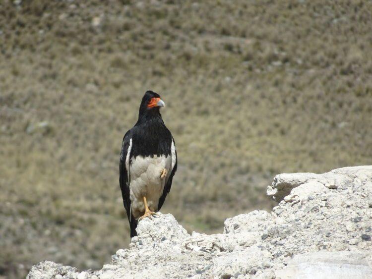 Caracara montagnard aperçu en bord de route un peu avant d'arriver à La Paz