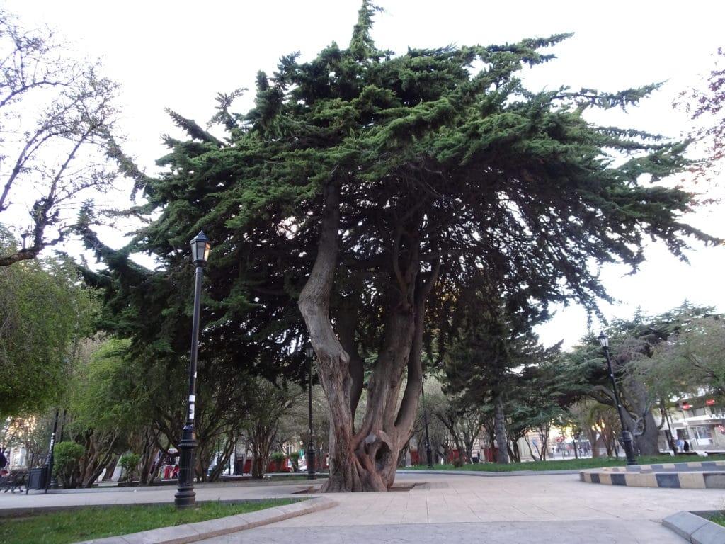 Bel arbre sur la Plaza de Armas de Punta Arenas
