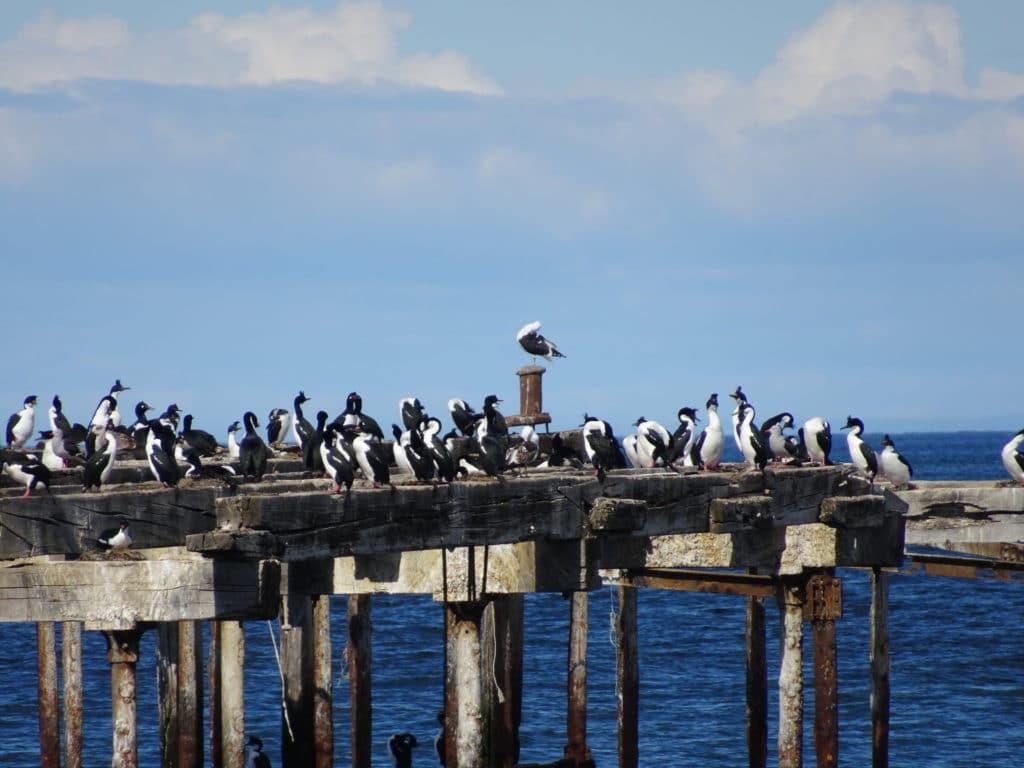 Des oiseaux (cormorans et albatros) sur l'ancien embarcadère