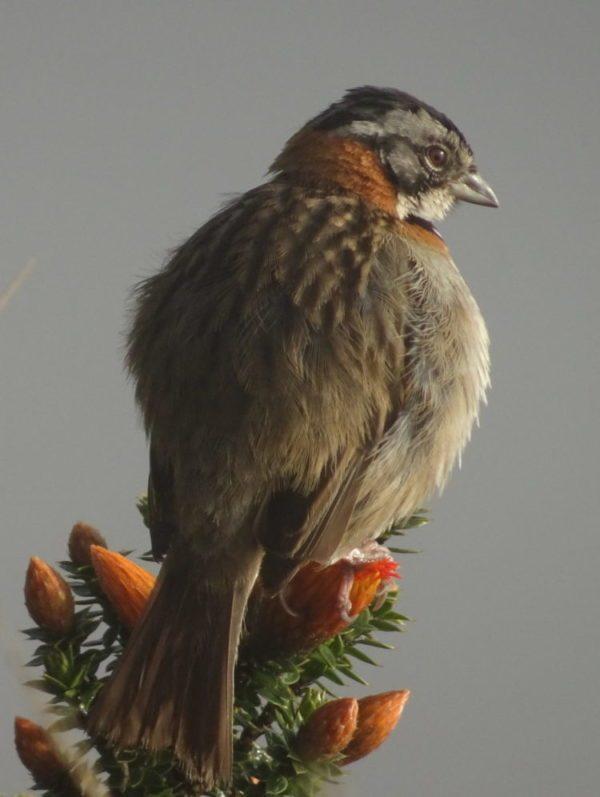 Oiseau au petit matin au cratère du Quilotoa en Equateur