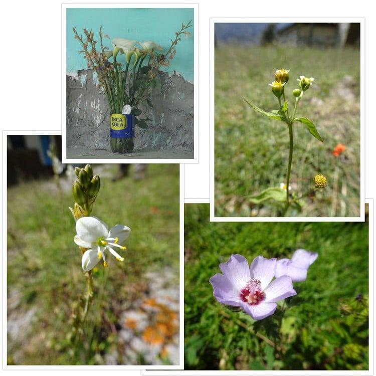 Fleurs vues durant la balade et pot de fleurs Inca Kola